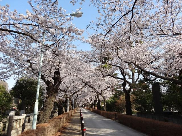 ロジマン西麻布 青山霊園の春