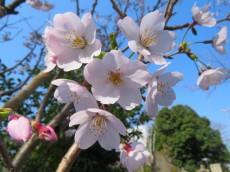 フォンテ青山 青山霊園の桜並木