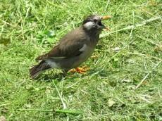 東北沢コーポラス 緑道の野鳥