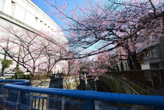 池尻大橋駅周辺 桜?
