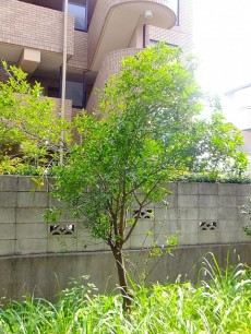 尾山台リバーサイドハイデンス 専用庭の木