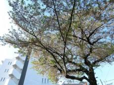 ルネ品川中延 エントランス前の桜